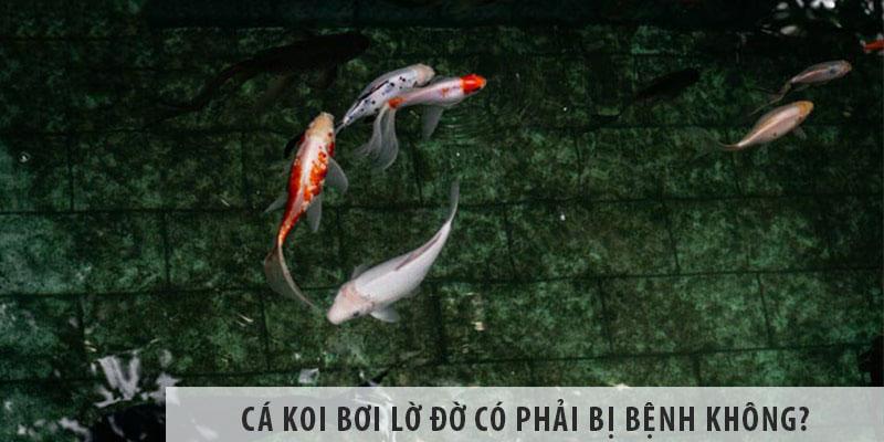 Cá koi bơi lờ đờ có phải bị bệnh không?