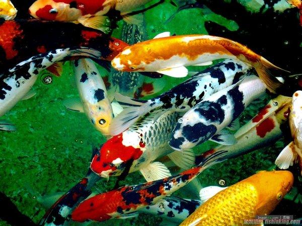Mách bạn kỹ thuật nuôi cá koi lên màu đẹp