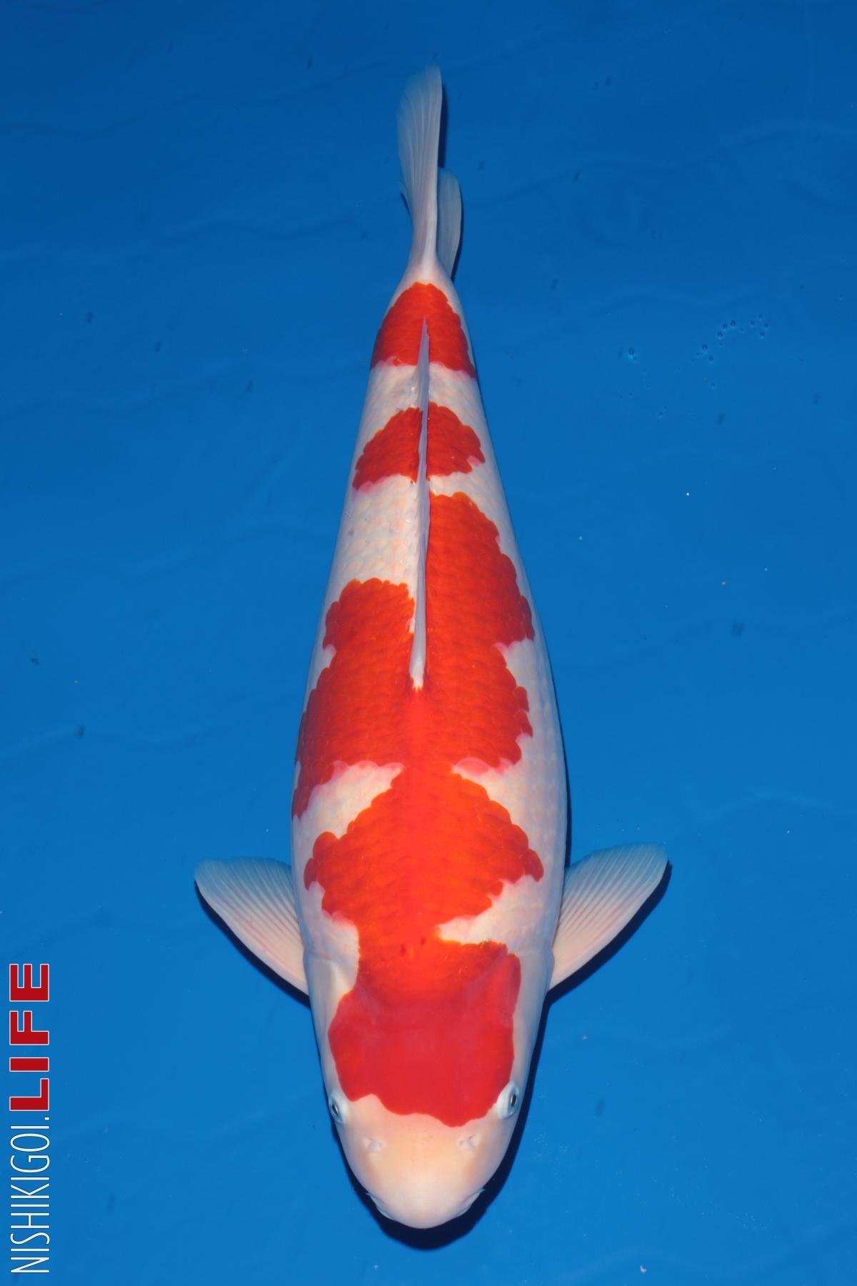 Hướng dẫn lựa chọn một chú cá Koi Kohaku đẹp
