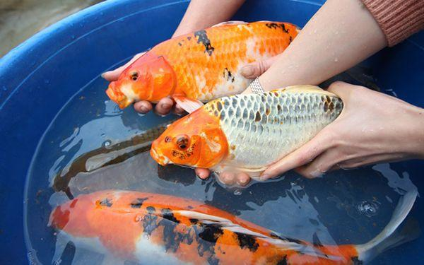 Cá koi F1 là gì? Cách phân biệt cá koi F1 và koi Nhật