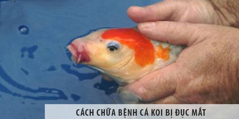 Cách chữa bệnh cá koi bị đục mắt