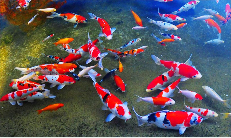 Cá Koi có dễ nuôi không? Điều kiện nuôi cá koi sinh trưởng tốt