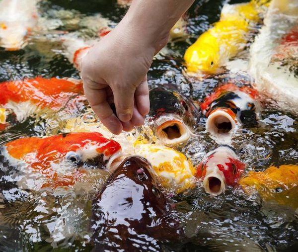 Các loại thức ăn cá koi nhiều dưỡng chất giúp cá tăng trưởng tốt