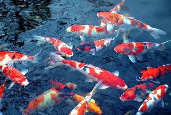 Cá Koi trong văn hoá Nhật
