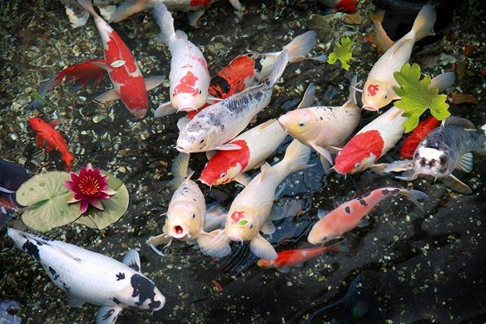 Thi công hồ cá koi và hòn non bộ tại Tân Thành