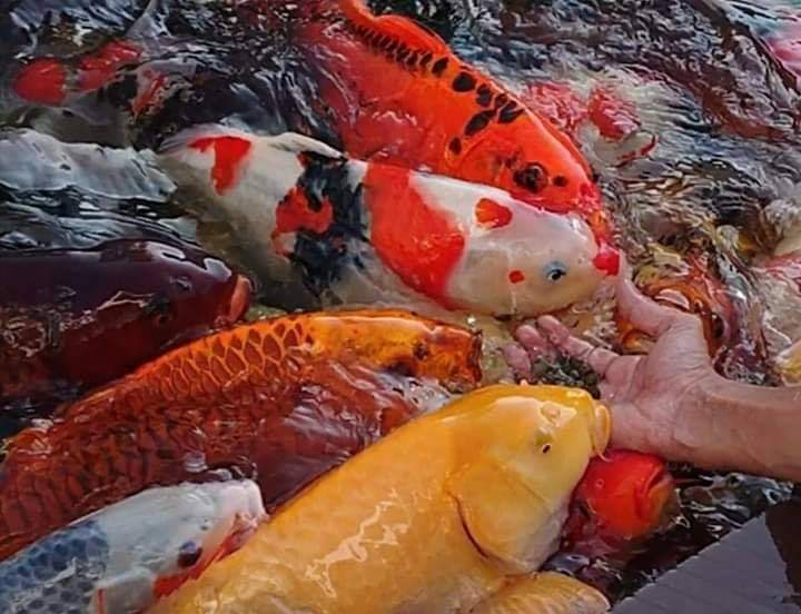 Cách cho cá Koi ăn để cá khỏe mạnh, lên màu đẹp